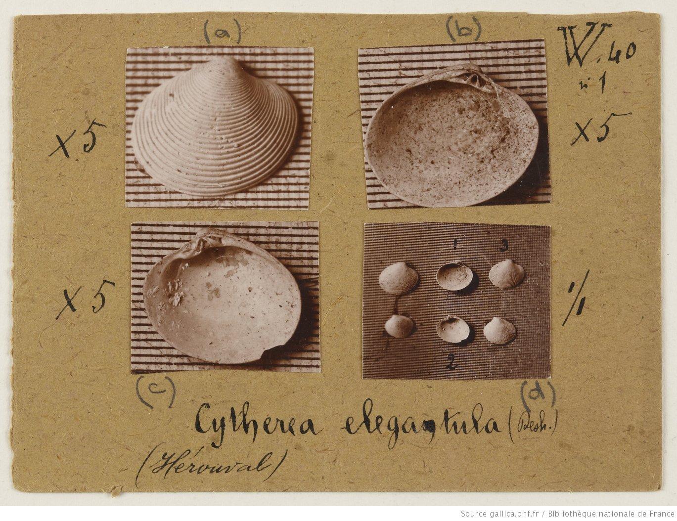 Photographie de coquillages et de mollusques, 1928, Bibliothèque nationale de France, département Société de Géographie