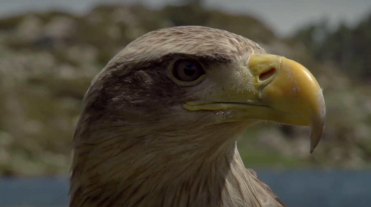 L'aigle apprivoisé pour réaliser ces vidéos